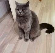 BKH Katze Dame Abholbereit