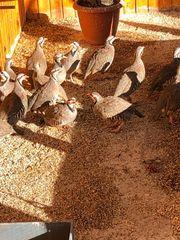 steinhühner eier für brüten kuluckal