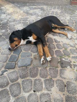Hunde - Deckrüde Appenzeller sennenhund