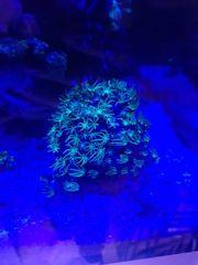 Korallenableger LPS Zoanthus Anemonen SPS