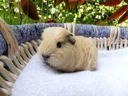 junges Ch Teddy California Meerschweinchen