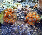 Meerwasser Krustenanemonen orange