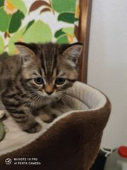 nur noch ein Bkh kitten