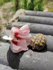 THB Griechische Land Schildkröten von