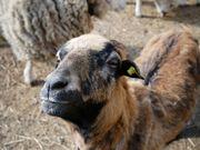 Schafe / Schafsherde / Schlachtschafe
