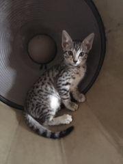 Reinrassige Savannah F6 SBT Kitten