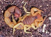 Parabuthus Capensis red morph
