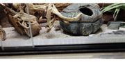 Verkaufe Leopardgeckoweibchen High Yellow