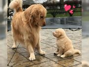 Golden Retriever Welpen poks