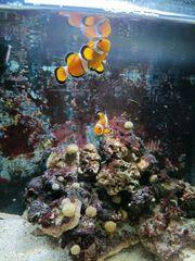 Meerwasser Aquarium 60l komplett mit