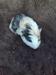 Junges Meerschweinchen Böckchen