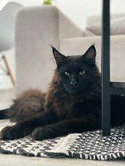 Deckkater Panther reinrassiger Maine Coon