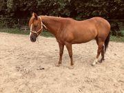 Verkaufe 6-jährige Paint Horse Stute