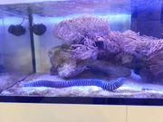 Meerwasser 80 cm Zebramuräne zu