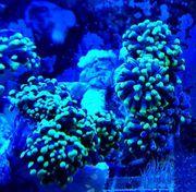 Meerwasser Euphyllia paraancora Toxic green