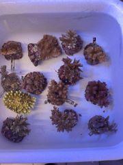 SPS LPS Korallen Korallenableger in