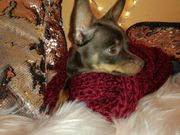 Russkiy Toy xxs kein Chihuahua