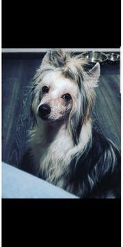 Chinese Crested Dog Powderpuff