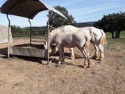 Boulonaise Pferd Stute mit Fohlen