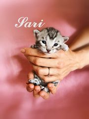 Wunderschöne Bengal Kitten silver silber