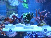 4 Korallen SPS Meerwasser Salzwasser
