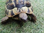 Griechisches Landschildkröten Weibchen von 2010