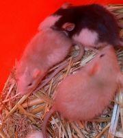 Rattenbabys Jungs und Mädels verschiedene
