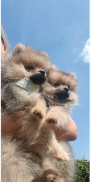 Reinrassige Mini Pomeranian Zwergspitz Mädchen