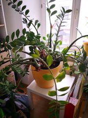 Große Grünpflanze im Topf Zamioculcas