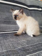 Reinrassigen Heilige Birma Kitten