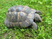 3 maurische Landschildkröten - männlich - adult