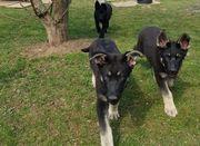 Reinrassige Osteuropäische Schäferhund Welpen