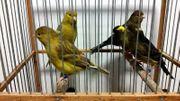 Ich verkaufe fantastische Kanarienvögel 2020