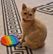 BKH Kätzchen sucht ein neues