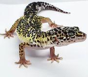Reserviert Diego F Leopardgecko Lemon