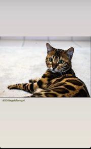 Bengalkatze in liebevolle Hände abzugeben