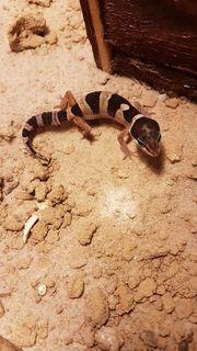 leopardgeckos nachwuchs je 20 abholung