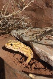 Leopardgecko - 1 0 Giant Albino
