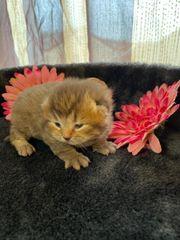 reinrassige BKH Kitten in wunderschönen