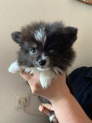 Pomeranian Spitz mini