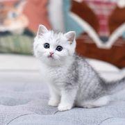 Wunderschöne Ragdoll-Kitten mit Stammbaum