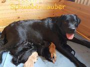 Labrador Welpen mit Ahnentafel aus