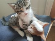 BKH Kitten - Mischlinge