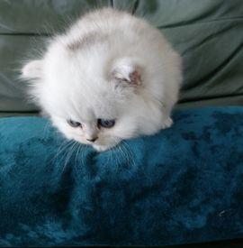 Reinrassiges Chinchilla Perserbaby In Russelsheim Katzen Kaufen Und Verkaufen Uber Private Kleinanzeigen