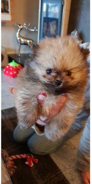 Pomeranian Zwergspitz Welpen 2 Mädchen