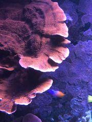 Große Ableger Monipora foliosa rot