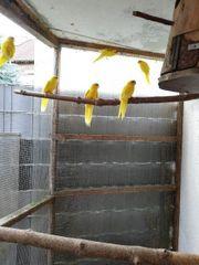 Gelbe Ziegensittichhenne