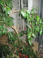 Benjamini Ficus Kaktusfeige Grüner Blattstock