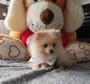 Pomeranian zwergspitz Mädchen
