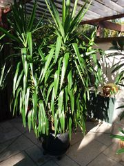 Yucca - Palme
